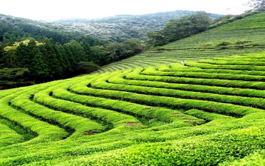 Refresh your senses with our Darjeeling tea trails